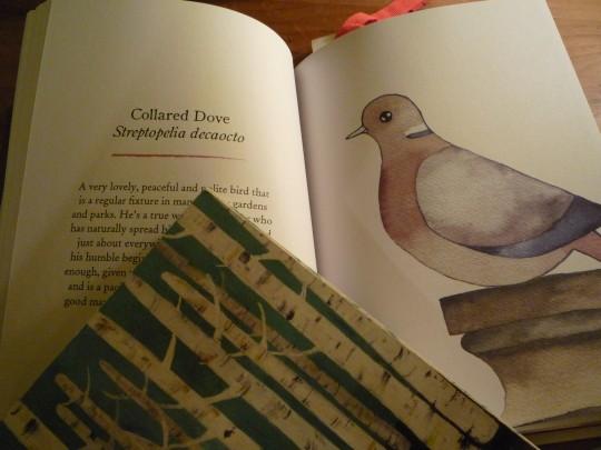 Collared Dove by Matt Sewel