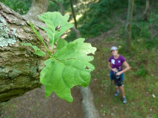 Bryony viewed from up an oak tree