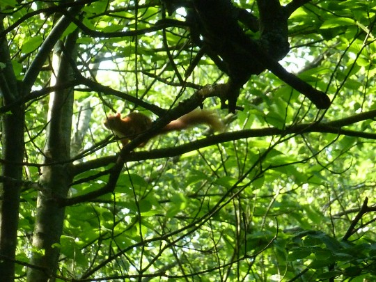 Red squirrel up a tree at Borthwood Copse