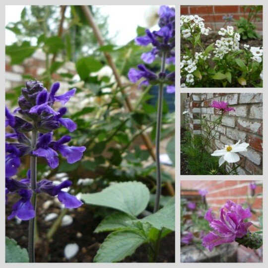 Photo collage of Salvia, Alyssum, Lavender and Cosmos