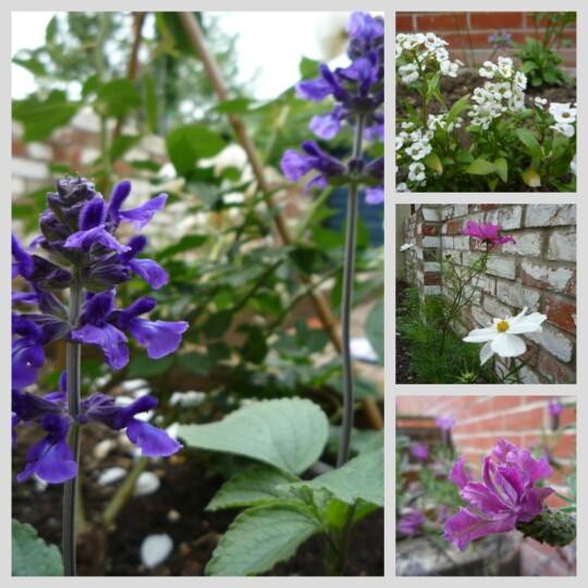 Photo collage of Salvia, Alyssum, Lavender and Cosmos