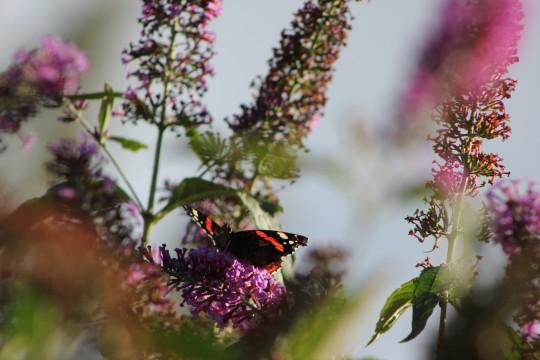 Butterfly on a buddleia