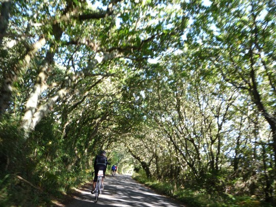 Cycling through oak tree tunnel, Newtown Isle of Wight