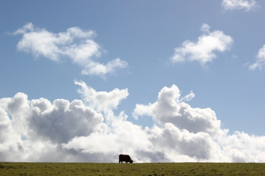 Small cow on a big horizon