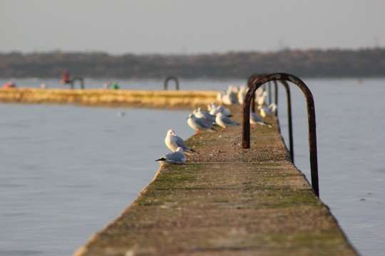 Seagulls sitting on East Cowes breakwater