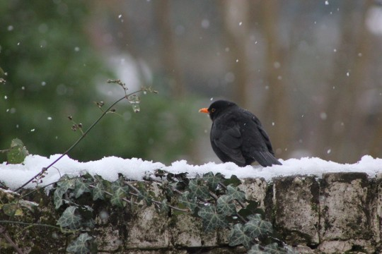 Blackbird perched on a snow stone wall