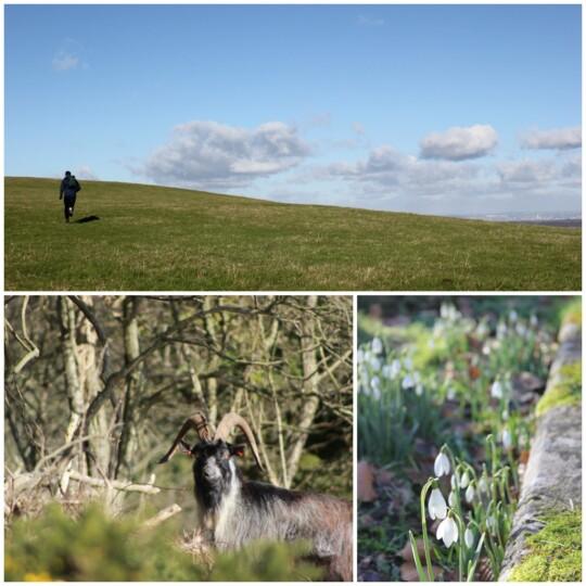 Bonchurch Down, feral goat, snowdrops photo collage