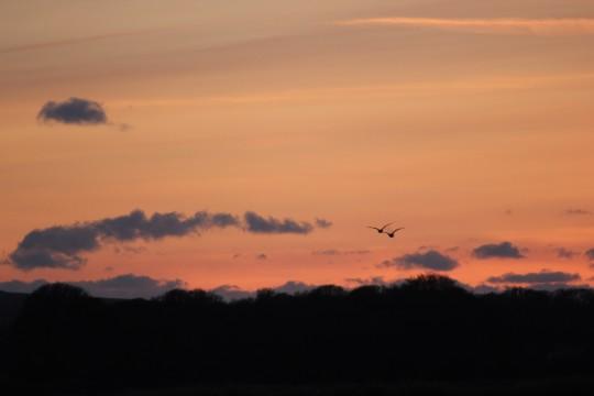 Birds flying in the sunset