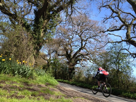 Cycling past daffodils