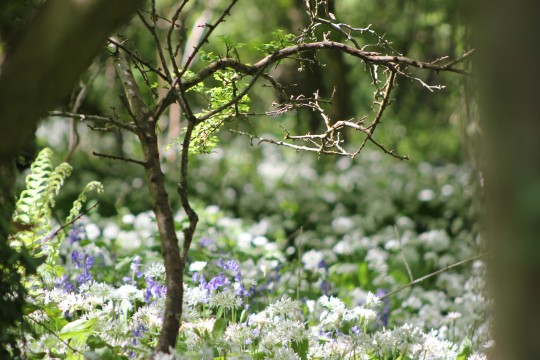 Small tree framing white flowers and bluebells