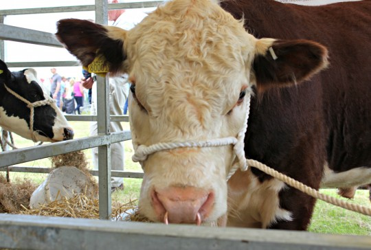 Bull in pen at county show