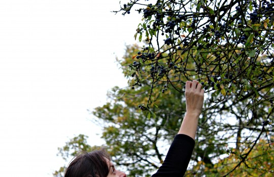 Bryony reaching up high for sloe berries