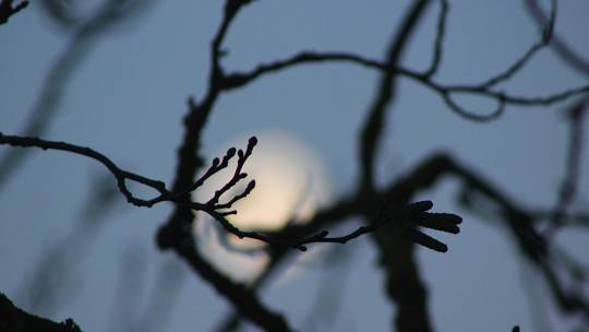 The moon through tree branches