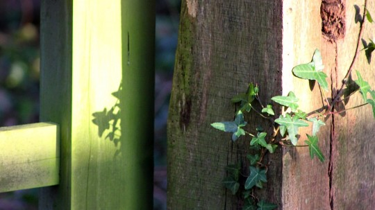Sunshine on gate post with ivy