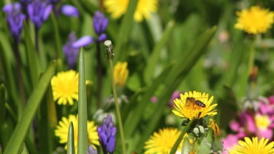 Bee visiting flowers in Spring