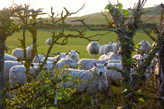 Sheep gathered looking
