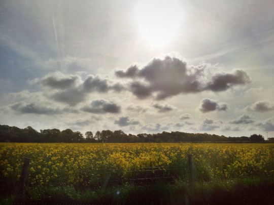 Yellow field in East Cowes