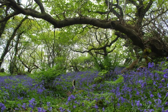 Bluebells amongst the trees