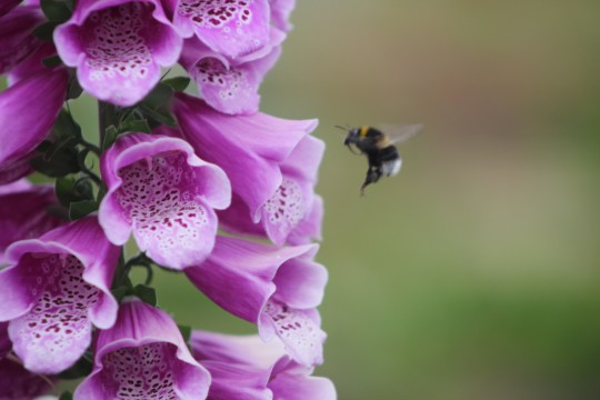 Foxglove and bumble bee