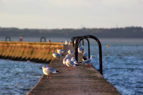 Segulls on East Cowes breakwater