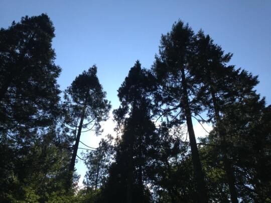 View up at redwood trees