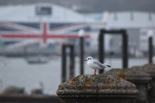 Seagull with union jack flag in the background