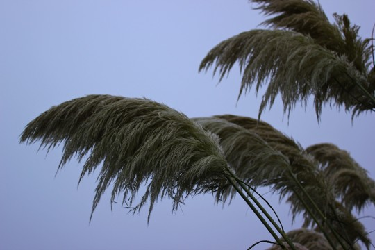 Grass reeds at dawn