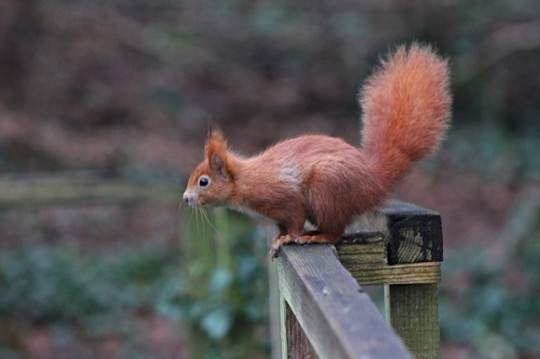 Red squirrel on a fence in Alverstone