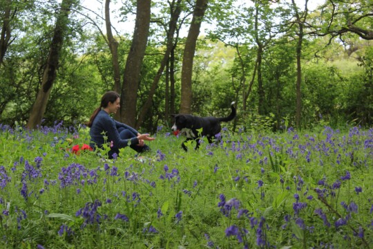 Rusty playing fetch with Rolo in the bluebells