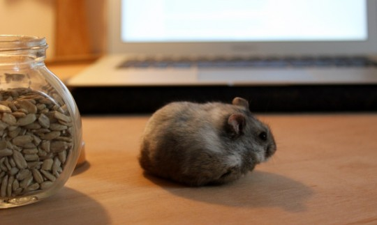 White Winter Dwarf hamster on table in front of laptop