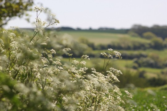 Cow-parsley with hills in the background